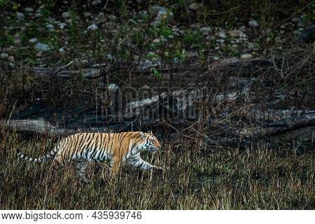 Wild Bengal Tiger Of Terai Region Forest On Stroll In A Morning Game Drive Or Safari At Uttarakhand