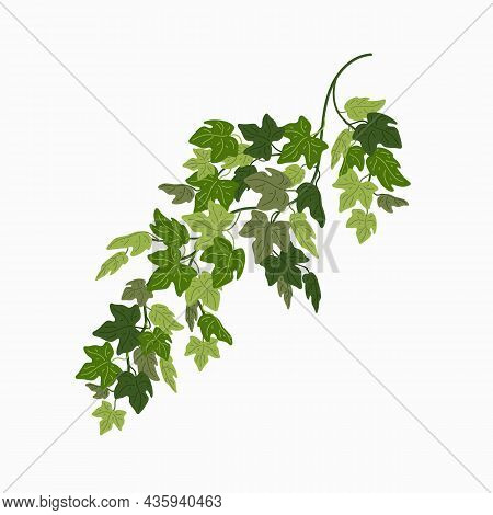 Ivy Vine, Green Leaves Of A Creeper Plant Isolated On White Background. Vector Illustration In Flat