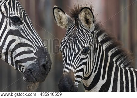 Zebras Are African Equines With Distinctive Black-and-white Striped Coats.