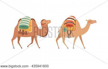 Amel Domesticated Desert Caravan Animal With Saddle Vector Set