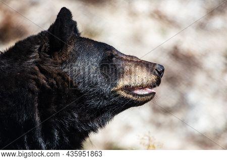 American Black Bear. Mammal And Mammals. Land World And Fauna. Wildlife And Zoology. Nature And Anim