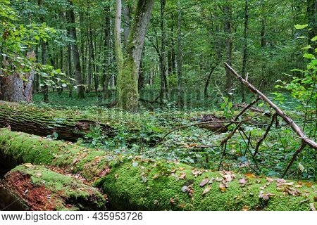 Autumnal Deciduous Tree Stand With Hornbeams And Broken Tree In Foreground, Bialowieza Forest, Polan