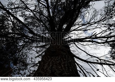 A Burnt Pine Tree After A Wildfire In The Mediterranean Woodland On The Judea Mountains Near Jerusal