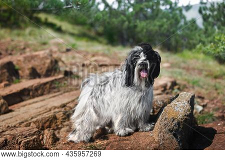 Tibetan Terrier Dog Stands Calmly On Mountain Cliff Looking At Camera With Beautiful Evergreen Trees