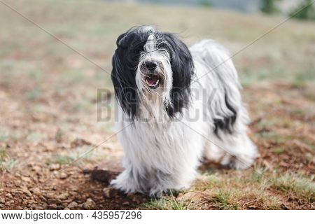 Portrait Of Tibetan Terrier Dog Standing On Rocky Mountain Road While Looking At Camera. Selective F
