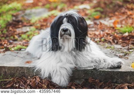 Tibetan Terrier Dog Lying Obediently On Steps In A Forest Among Colorful Leaves.  Selective Focus, C