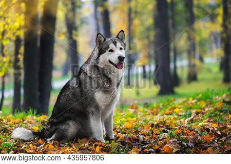 Beautiful Alaskan Malamute Dog Sitting And Looking With Curiosity In Autumn Forest.  Selective Focus