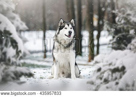Alaskan Malamute Dog Sitting  Between Pine Trees In Winter Forest.  Selective Focus, Blank Space