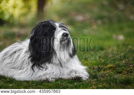 Tibetan Terrier Dog Out For A Walk Relaxing In The Nature In Green Grass Field During Spring.  Selec