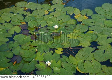 Closed Bud And White Flowers Of Nymphaea Alba In Mid October