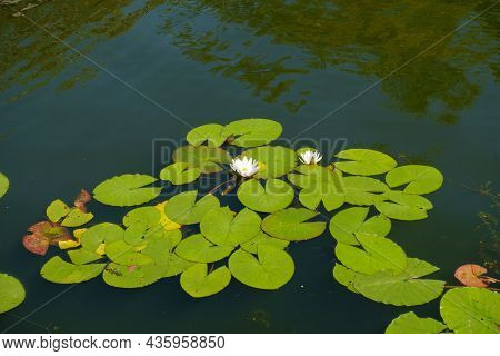 Lush Green Leaves And Two White Flowers Of Nymphaea Alba In August