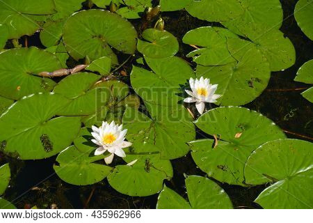 Twosome Of White Flowers Of Nymphaea Alba In August