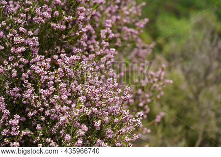 Winter Heath Or Spring Heath, Erica Carnea Brings A Haze Of Color To The Late Winter And Early Sprin