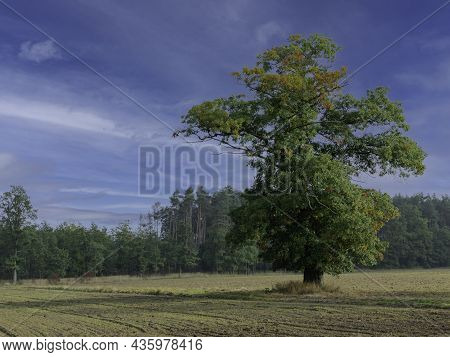 A Large, Handsome Tree, An Oak On A Vast Plain Covered With Meadows And Arable Fields. You Can See T