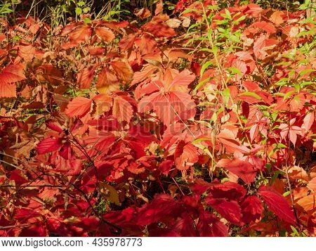 Autumn Morning. Red Leaves Of Virginia Creeper Covered With Drops Of Morning Dew.