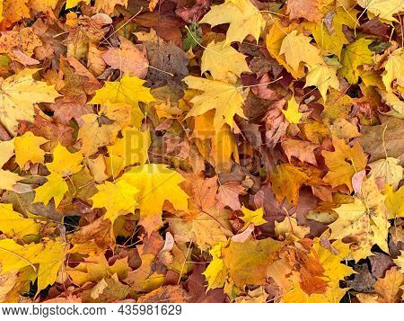 Many Colorful Yellow Gold Maple Leaves Background, Fall, Autumn Backdrop.