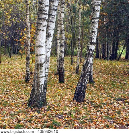 Birch trees in autumn. View of birch grove in the fall.
