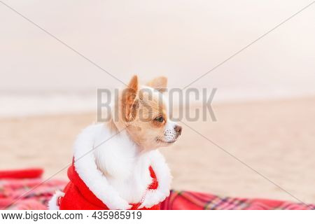 Holidays By The Sea For Christmas, New Year. Chihuahua Dog In Santa Clothes On A Blanket In The Sand
