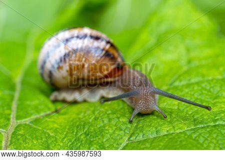 A Gastropod Mollusk Snail With Horns Is Crawling On A Green Leaf.