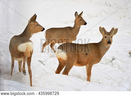 Young Deer In The Snow. Three Siberian Roe Deer Stand In Drifts Of White Snow, Cute Wild Animals Wit