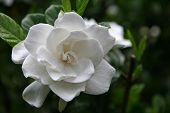 A pretty gardenia bloom in the summertime poster