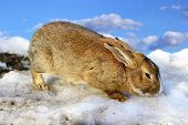 cute rabbit standing on the melting spring snow over a blue sky poster