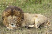 Mature male lion deep sleeping at long grass Masai Mara Kenya poster
