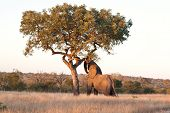 Elephant push marula tree high leaves falling to break poster