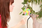 colored candies and sphinx cat on a white background. cat eats candy poster