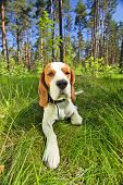 Beagle on a grass in forest . Focal length 17 mm . poster