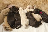 Labradoodle pups with their mom some feeding and some sleeping poster