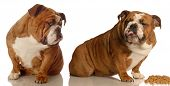 two english bulldogs arguing over dog food poster