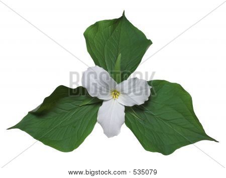 White Trillium With Leaves