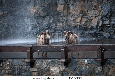 Two Bighorns On Highway