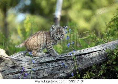 Baby Lynx Kitten