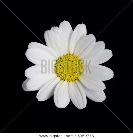 Isolated Daisy