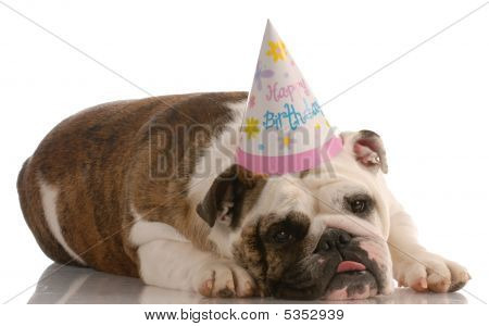 adorable english bulldog wearing birthday hat on white background poster