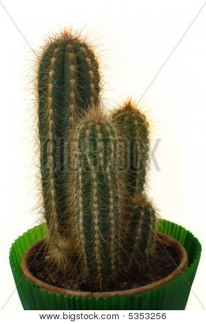 Cactus Isolated Over White