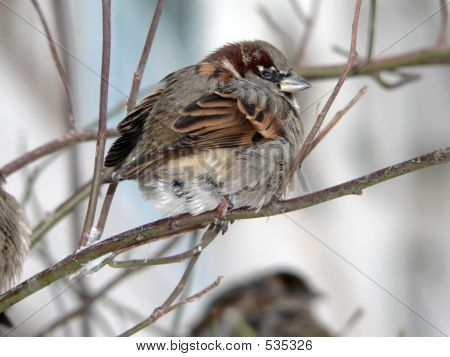 Winter Sparrow