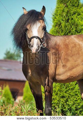 Beautiful Buckskin Welsh Pony