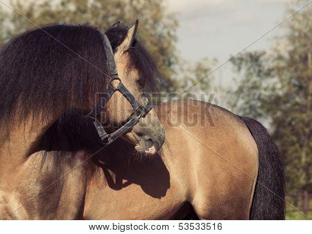 Portrait Of Beautiful Buckskin Welsh Pony
