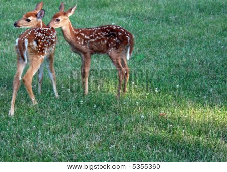 Fawns At Play
