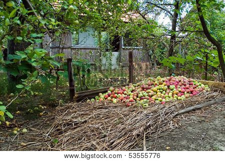 Many Apples