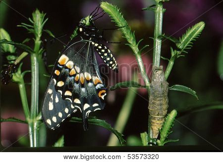 Black Swallowtail Butterly With Chrysallis