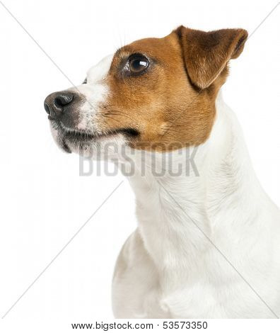 Close-up of a Jack Russell Terrier's profile, looking up, isolated on white