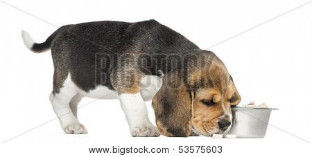 Side view of a Beagle puppy sniffing food, isolated on white