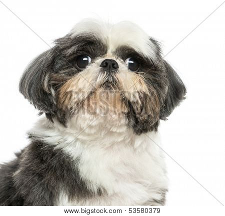 Close up of a Shi Tzu, isolated on white