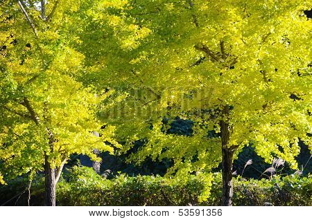 Ginkgo Tree On The Way To Become The Yellow Leaves