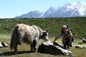 Meeting with big furry yak near Rakaposhi Base Camp in Karakorum mountains in Pakistan poster