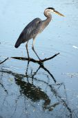 Great Blue Heron and reflection in a pond. poster